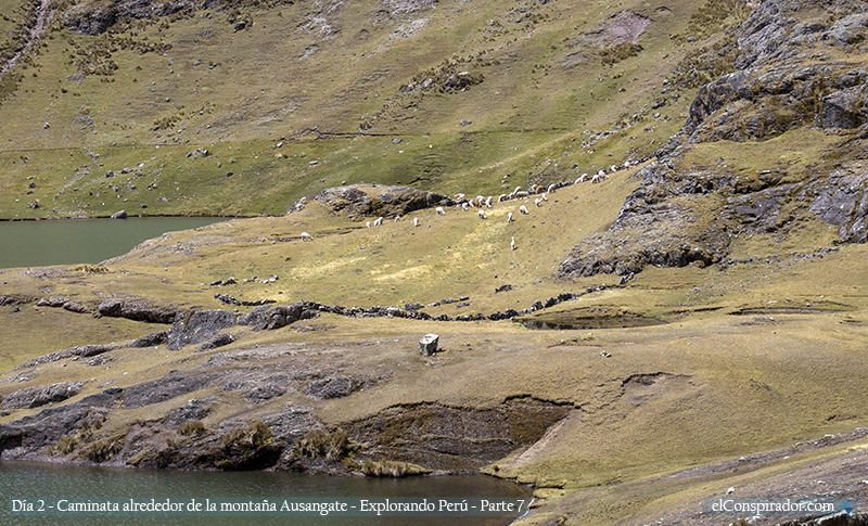 Algo que aprendí es que, en donde hay alpacas siempre van haber perros ovejeros.